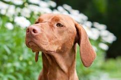 Nahaufnahme eines Vizsla Hundes in einem Garten Stockfotografie