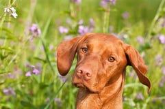 Nahaufnahme eines Vizsla Hundes mit Wildflowers Stockfoto