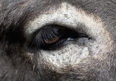 Nahaufnahme eines weißen Esel-Auges Stockbild