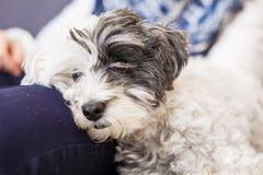 Nahaufnahme eines weißen Hundes, der auf einem Frauenbein sich lehnt Stockfotografie