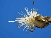 Nahaufnahme eines weißen Rasierpinsel-Baums Hintergrund für eine Einladungskarte oder einen Glückwunsch stockfoto