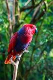 Nahaufnahme eines weiblichen eclectus Papageien Stockbilder