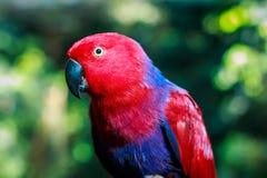 Nahaufnahme eines weiblichen eclectus Papageien Lizenzfreie Stockbilder