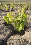 Nahaufnahme eines Weinstocks Lizenzfreies Stockbild