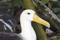 Nahaufnahme eines wellenartig bewegten Albatros, der auf einem Nest sitzt Stockfotos