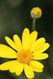 Nahaufnahme eines wenig gelben dunkelgrünen Hintergrundes der Blume und der Unschärfe Stockbilder