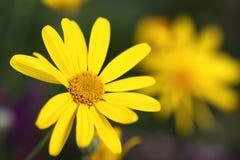 Nahaufnahme eines wenig gelben dunkelgrünen Hintergrundes der Blume und der Unschärfe Stockfotografie