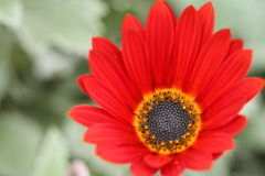 Nahaufnahme eines wenig roten grünen Hintergrundes der Blume und der Unschärfe Lizenzfreie Stockfotografie