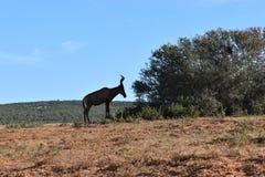 Nahaufnahme eines Wildbrets in Addo Elephant Park in Colchester, Südafrika Stockfotografie