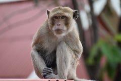 Nahaufnahme eines wilden Affen am Affeberg Khao Takiab in Hua Hin, Thailand, Asien Stockfotografie