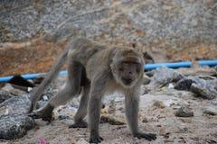Nahaufnahme eines wilden Affen auf dem Strand am Affeberg Khao Takiab in Hua Hin, Thailand, Asien Stockfotografie