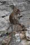 Nahaufnahme eines wilden Affen auf einem Stein am Affeberg Khao Takiab in Hua Hin, Thailand, Asien Lizenzfreie Stockfotografie
