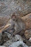Nahaufnahme eines wilden Affen auf einem Stein am Affeberg Khao Takiab in Hua Hin, Thailand, Asien Stockfotos