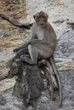 Nahaufnahme eines wilden Affen auf einem Stein am Affeberg Khao Takiab in Hua Hin, Thailand, Asien Lizenzfreies Stockbild