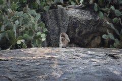 Nahaufnahme eines wilden Affen, der auf einem Stein am Affeberg Khao Takiab in Hua Hin, Thailand, Asien sitzt Stockfotos