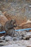 Nahaufnahme eines wilden Affen, der eine Banane auf dem Strand am Affeberg Khao Takiab in Hua Hin, Thailand, Asien isst Stockfotos