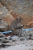 Nahaufnahme eines wilden Affen, der eine Banane auf dem Strand am Affeberg Khao Takiab in Hua Hin, Thailand, Asien isst Stockfotografie