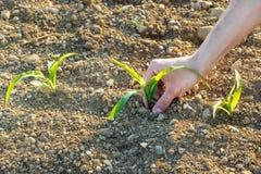 Nahaufnahme einiger kleiner Maispflanzen von der biologischen Landwirtschaft mit Bauernhof Stockfoto