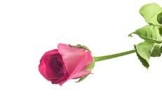 Nahaufnahme einzeln von der Rosarose auf weißem Hintergrund Stockfoto