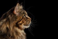 Nahaufnahme enorme Maine Coon Cat Profile Looks, lokalisierter schwarzer Hintergrund Lizenzfreies Stockfoto
