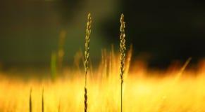 Nahaufnahme etwas sonnigen Sommerfeldgrases Ultrawide-Hintergrund Stockfoto