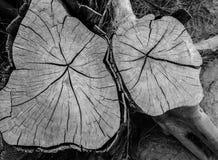 Nahaufnahme führt Stumpf des gefällten Baums in Schwarzweiss einzeln auf Stockfoto
