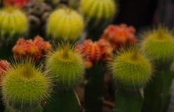 Nahaufnahme f?rbte Kakteen von gelben und roten Blumen lizenzfreies stockbild