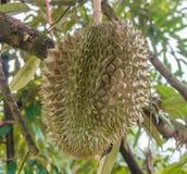 Nahaufnahme frischer Durian auf dem Baum, Thailand Lizenzfreie Stockbilder