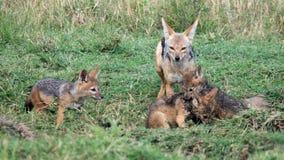 Nahaufnahme frontview eines Mutterschabrackenschakals, welche ihren Jungen sich nähert, die kämpfen Lizenzfreies Stockfoto