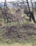 Nahaufnahme frontview von einem sitzenden Stillstehen des erwachsenen Gepards auf ein Gras bedeckte Hügel Stockbild