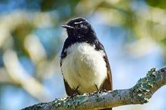Nahaufnahme-gebürtiger Australier-Willy Wagtail-Vogel, der auf Baumast sitzt Stockfotografie