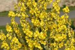Nahaufnahme gelbe mullein Blume Stockbild