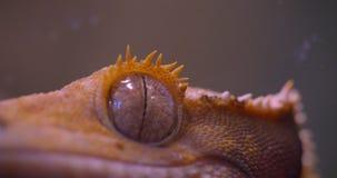 Nahaufnahme geschossen vom Auge des grünen Frosches direkt und, das friedlich in Kamera im Terrarium aufpasst stock footage