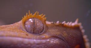 Nahaufnahme geschossen vom Auge des grünen Frosches direkt und, das ruhig in Kamera im Terrarium aufpasst stock footage