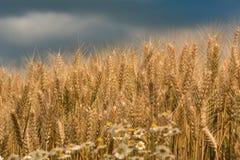 Nahaufnahme geschossen vom Weizen unter stürmischem Himmel Stockbild