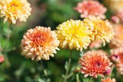 Nahaufnahme geschossen von den Chrysanthemen stockbilder