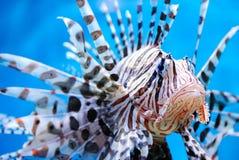 Nahaufnahme geschossen von den giftigen klaren Fischen Lizenzfreies Stockbild