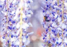 Nahaufnahme geschossen von der Biene und von der Glyzinieblume lizenzfreie stockfotos