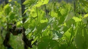 Nahaufnahme geschossen von einem branck von nicht schon reifen Trauben auf Rebe im Weinberg im Sommer stock footage