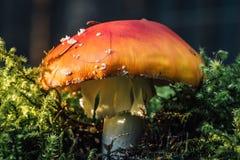 Nahaufnahme geschossen von einem roten giftigen Pilz Lizenzfreie Stockbilder