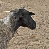 Nahaufnahme geschossen von einem Schaf Lizenzfreie Stockfotografie