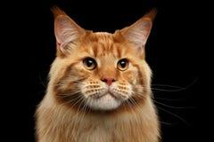 Nahaufnahme Ginger Maine Coon Cat Curious Looks, lokalisierter schwarzer Hintergrund stockbilder