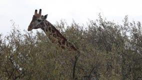 Nahaufnahme-Giraffe, die Blätter eines Baums isst stock footage