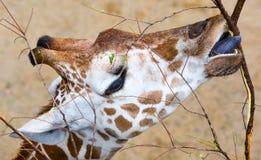 Nahaufnahme-Giraffen-Essen Stockfotos
