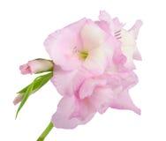 Nahaufnahme Gladiolus Stockfoto