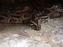 Nahaufnahme-grüne birmanische Pythonschlange umwickelt aus den Grund lizenzfreie stockfotos