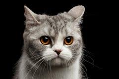 Nahaufnahme Gray Scottish Straight Cat Looks geschmerzt auf Schwarzem Stockbild