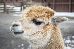 Nahaufnahme Headshot des Alpaka-Gesichtes stockfotos