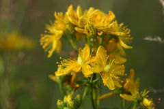 Nahaufnahme Hypericumblumen (Hypericum perforatum oder Johannes w Lizenzfreie Stockbilder