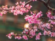 Nahaufnahme-Jahreszeit sch?ne Kirschbl?te oder Kirschbl?te-Blumen im Fr?hjahr lizenzfreie stockbilder